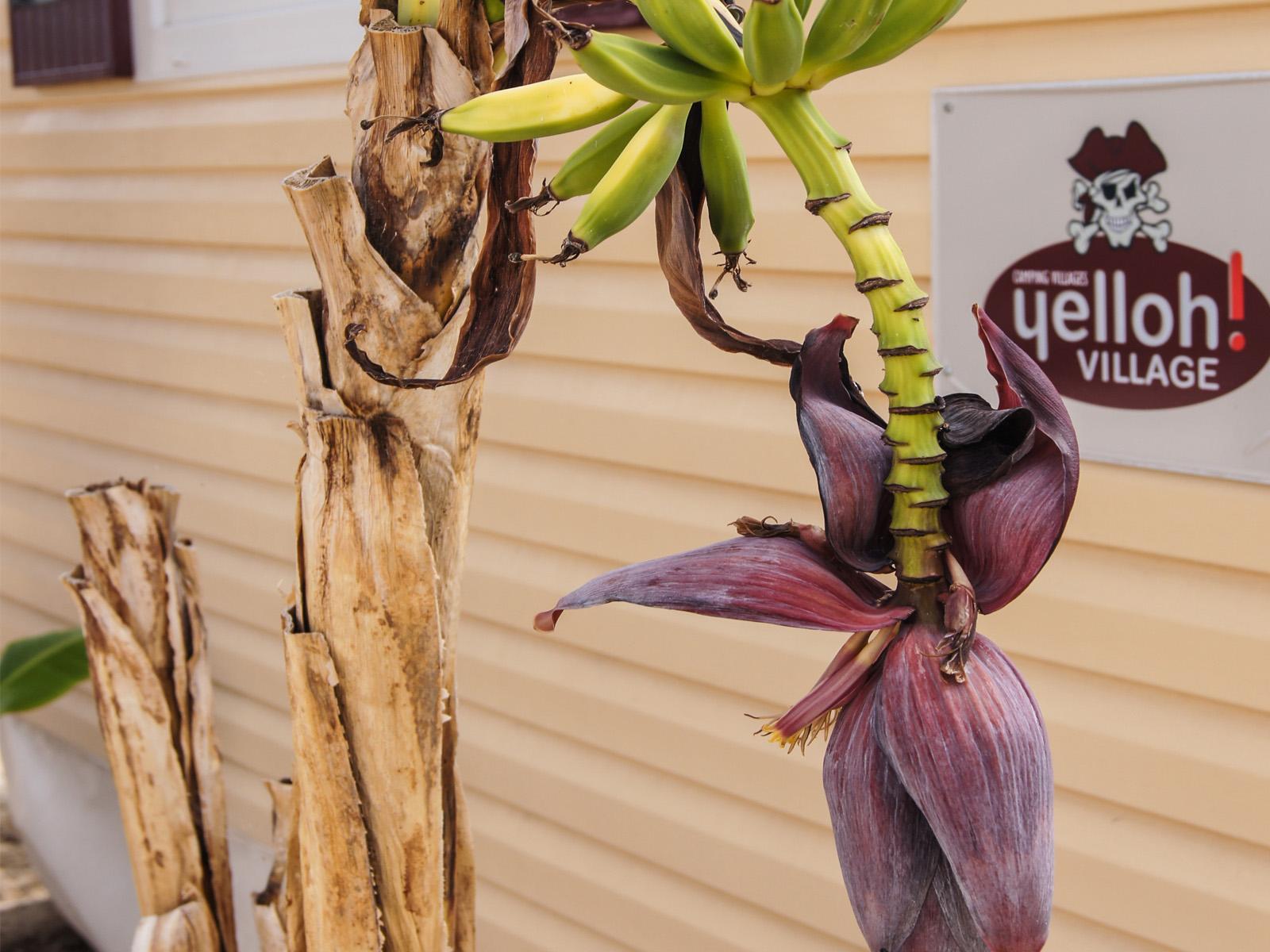 végétation bananier